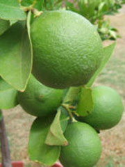 CitrusMexicanLimeTree1